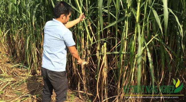 Trồng cỏ Va06 phục vụ chăn nuôi bò ở Bình Phước