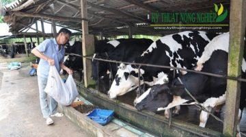"""Chăn nuôi bò sữa ở Lâm Đồng gặp khó vì """"thiếu cỏ"""""""
