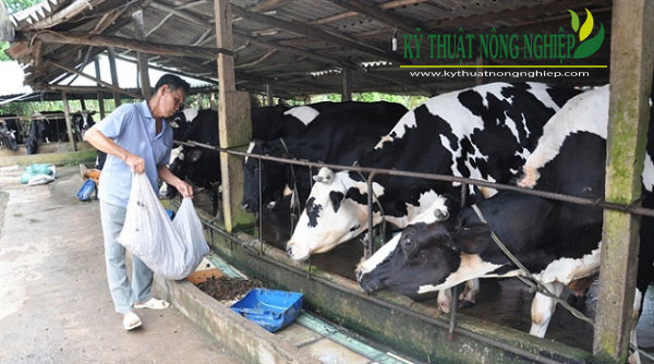 mô hình nuôi bò sữa ở Châu Thành, Tiền Giang