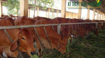 Mô hình nuôi bò thịt hiệu quả ở Cần Thơ