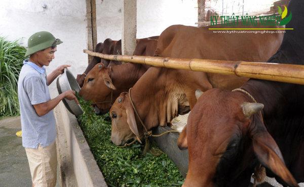 Mô hình nuôi vỗ béo bò thịt hiệu quả ở Phú Thọ