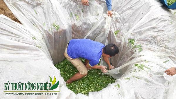 quá trình ủ chua cỏ