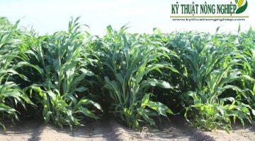 Hiệu quả từ mô hình trồng cỏ Cao Lương ở Tây Ninh