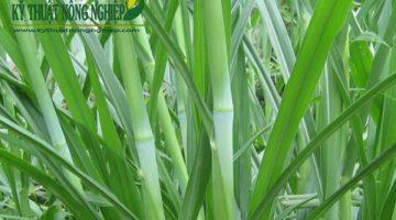 Giống cỏ Pakchong, cỏ voi xanh Thái Lan không lông