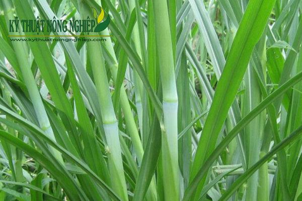 Giống cỏ Pakchong, cỏ voi không lông Thái Lan