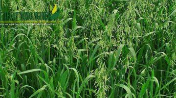 Giống cỏ yến mạch (chịu lạnh, chịu sương muối)