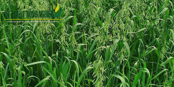 Giống cỏ yến mạch