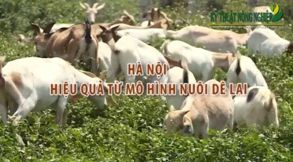 Hiệu quả từ mô hình nuôi dê lai ở Hà Nội