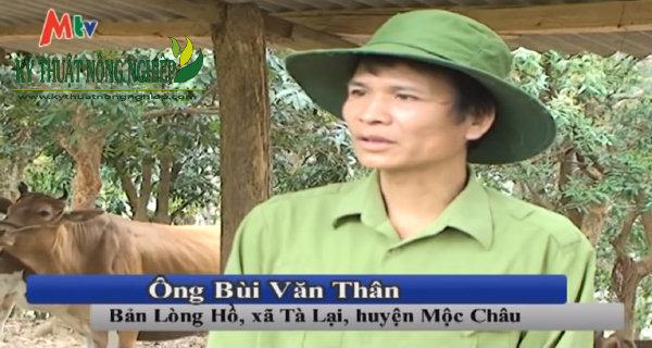Mô hình nuôi bò nhốt chuồng hiệu quả cao ở Mộc Châu
