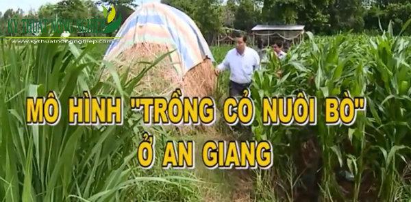 Mô hình trồng cỏ nuôi bò ở An Giang