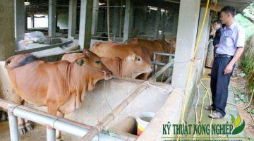 Mô hình trồng cỏ nuôi bò thành công của anh Nguyễn Văn Nhạt