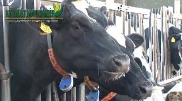 Thăm trang trại nuôi bò sữa ở Hà Lan