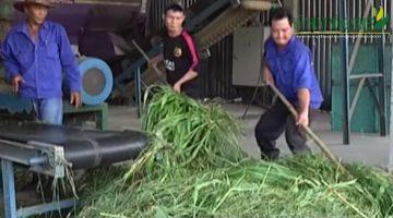 Kinh nghiệm ủ chua cỏ Cao Lương làm thức ăn cho gia súc
