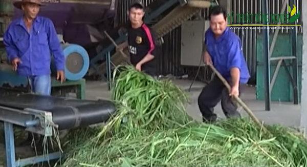 ủ chua cỏ cao lương
